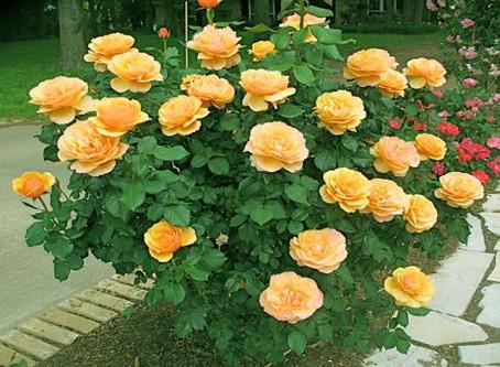 Классификация роз для новичков
