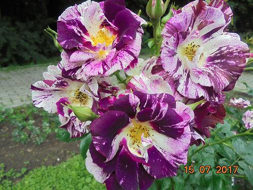 Роза Перпл Сплэш (Purple Splash). Клаймбер от Розебук