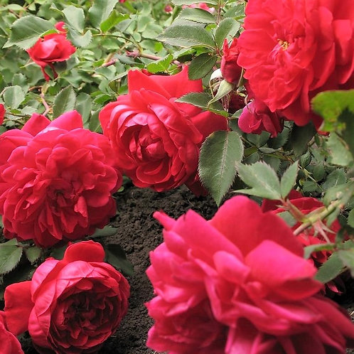 Роза Джордж Ванкувер (George Vancouver) Канадская