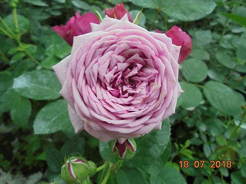 Роза Дьюранс Ансьон (Durance Ancian Rosa). Парковая роза от Розебук