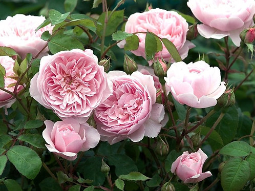 Роза Уизли (Wisley). Английская роза от Розебук