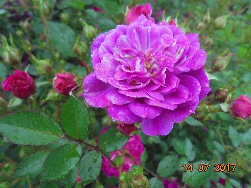 Роза Перпл Рейн (Purple Rain) Почвопокровная