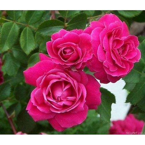 Роза Александр Маккендзи (Alexander MacKenzie). Канадская роза от Розебук