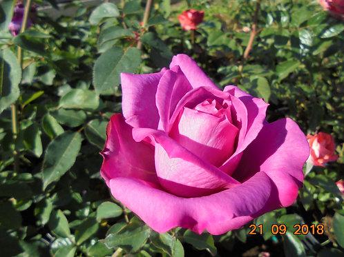 Роза Мундропс (Moondrops). Чайно-гибридная роза от Розебук