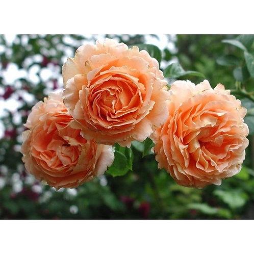 Роза Полька (Polka) Клаймбер