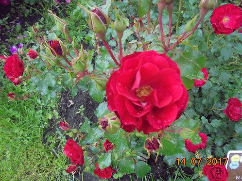 Роза Ротилия (Rotilia) Флорибунда