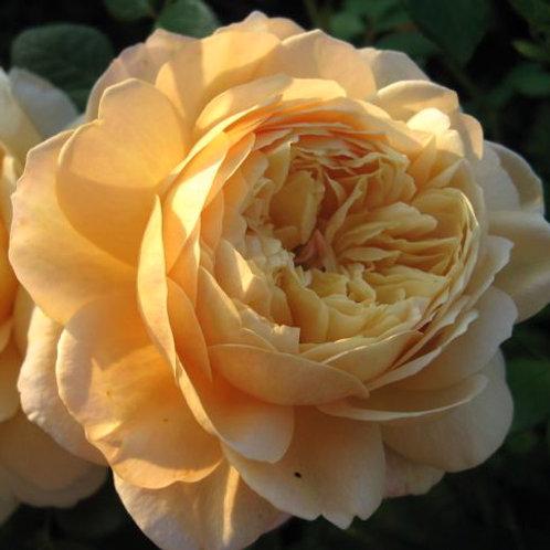 Роза Чарльз Дарвин (Charles Darwin). Английская роза от Розебук