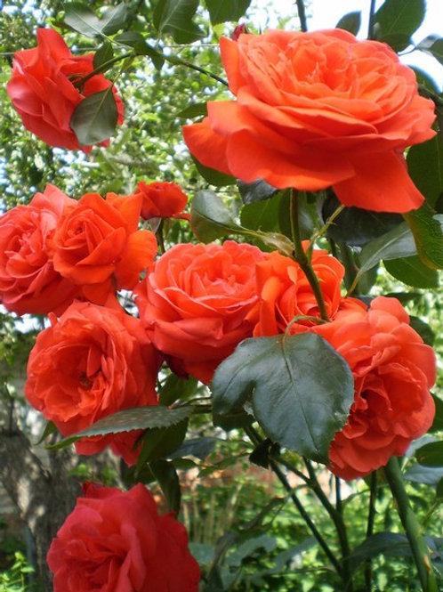Роза Салита (Salita). Клаймбер от Розебук.