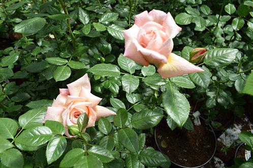 Роза Барок (Barock). Клаймбер от Розебук