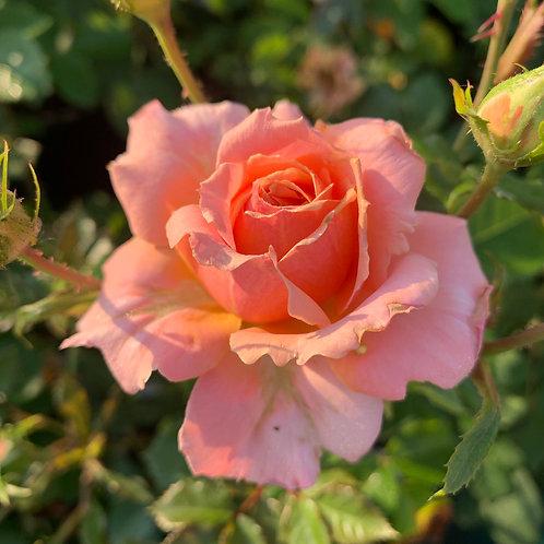 Роза Жур де Фете (Jour de fete), флорибунда