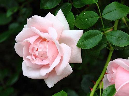 Роза Нью Доун (New Dawn). Рамблер от Розебук