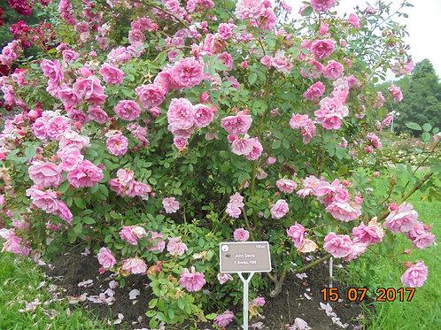 Роза Джон Девис (John Davis). Канадская роза от Розебук