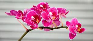 orchid-1808208_960_720.jpg