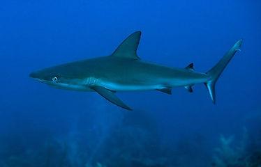 Saba's abundant shark population
