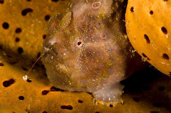 Saba's Ladder Bay Frog Fish