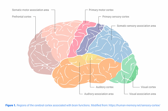brain-areas.png
