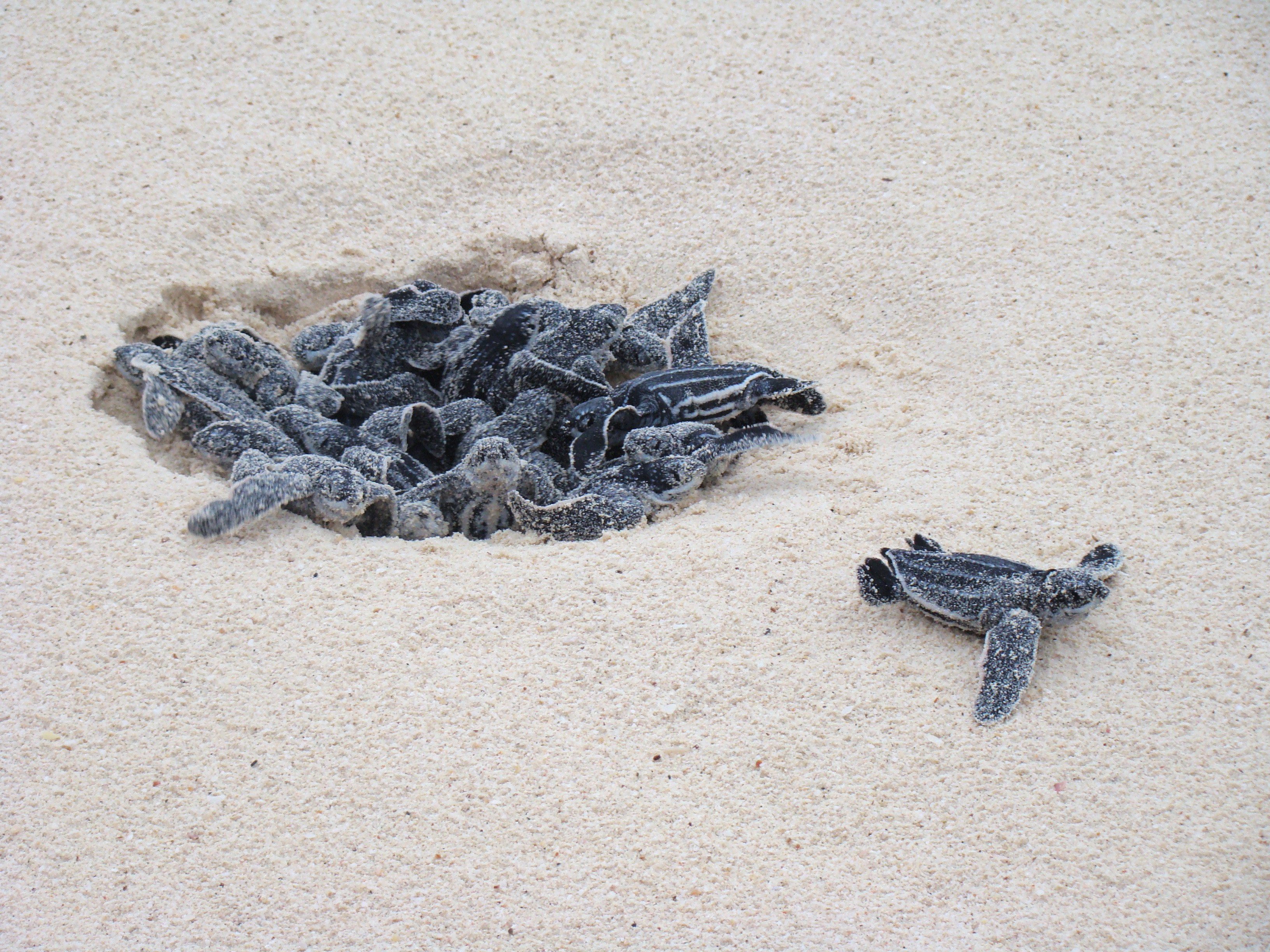 Turtle Eggs Hatching