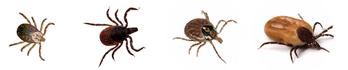 Ticks.png