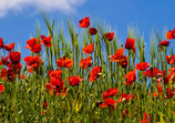 Poppy season