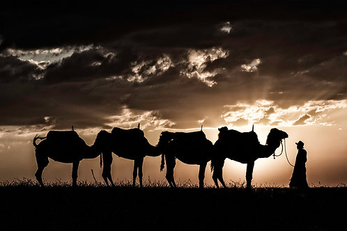 camel wildlife desert agafay morocco marrakech africa north marrakesh travel photography photo art suzanne porter sunset