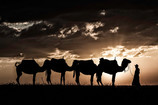 Camels in Sunset