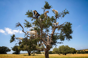 Goats in Trees1Y2A3653.jpg