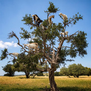 Goats in trees