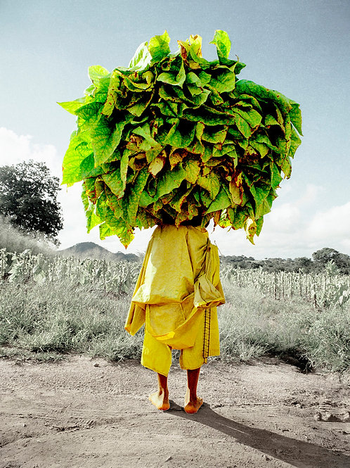 tobacco zimbabwe africa african suzanneporter contemporary travel portrait quirky art art prints editorial reportage