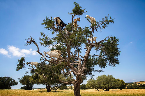 goats trees morocco essaouira photo art suzanne porter travel reportage print limited edition photojournalism africa african
