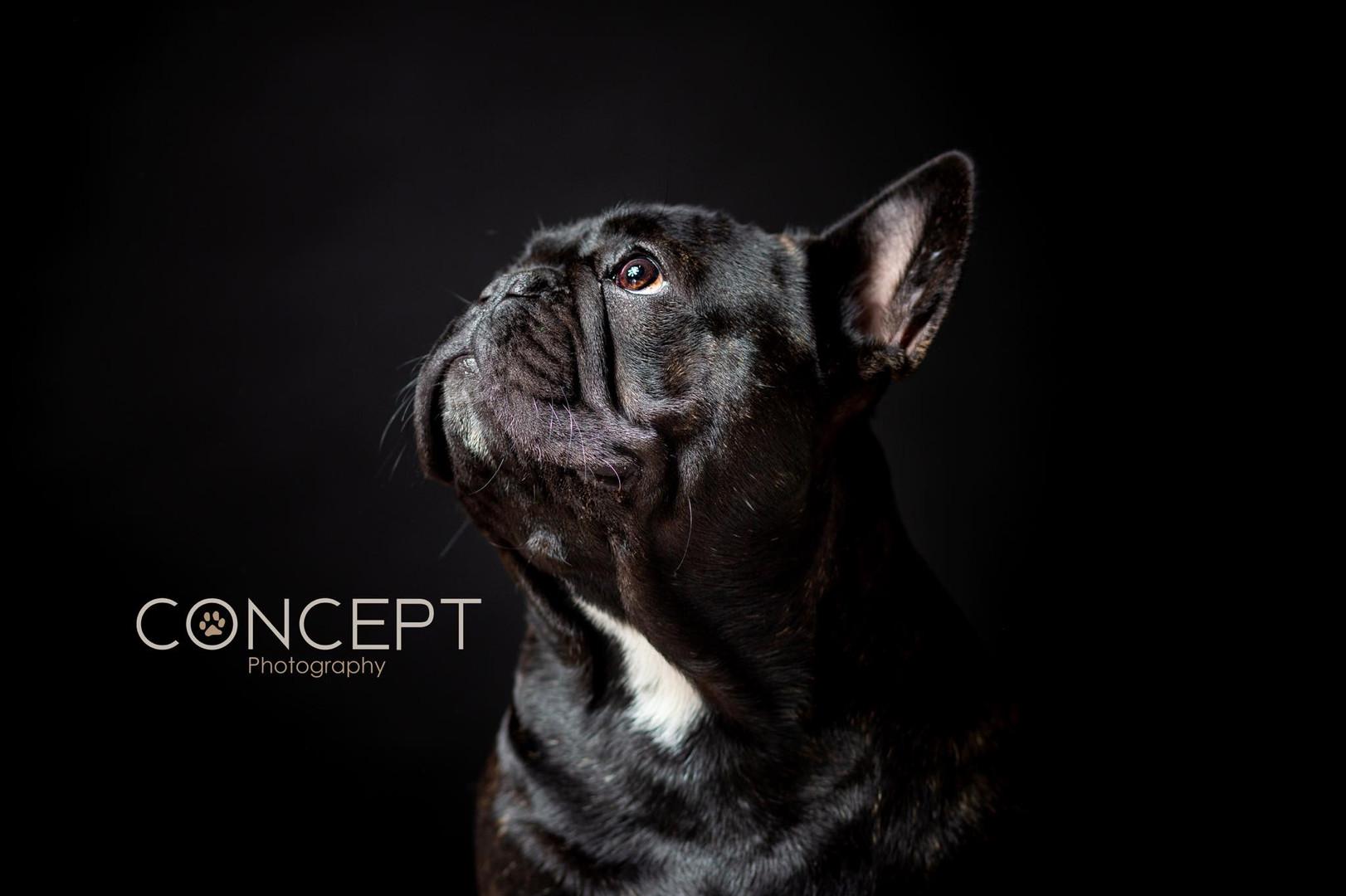 Buntalini French Bulldog