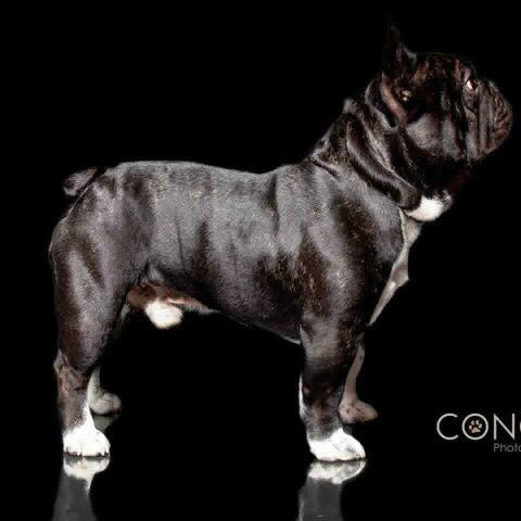 Buntalini French Bulldogs