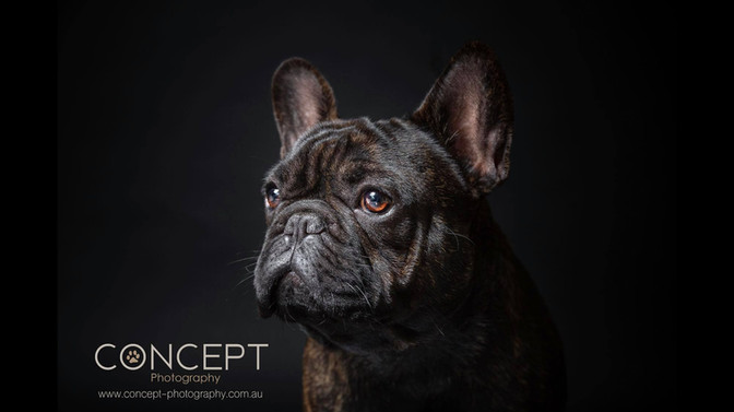 Buntalini French Bulldog