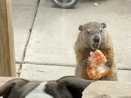Move over pizza rat, the pizza groundhog is here