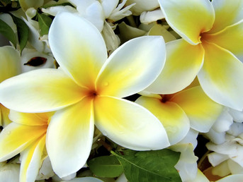 Keep Plumerias Hawaiian