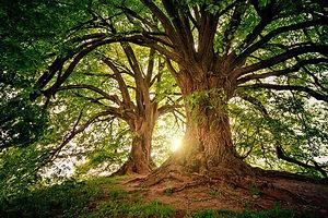Grands arbres feuillus.jpg