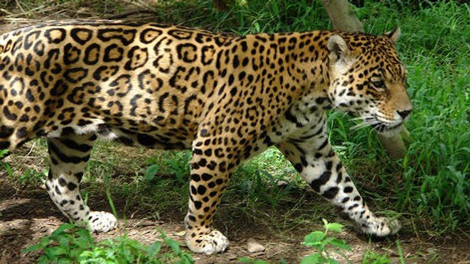 Jaguar Expeditions Starting from Quito July 29th, at 23h30