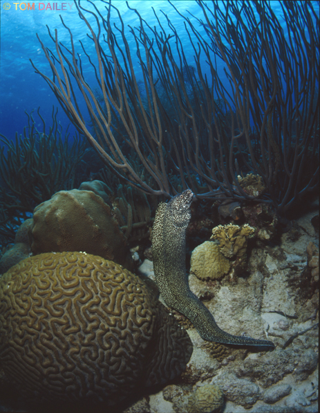 Moray Eel. Bonaire.©Tom Dailey