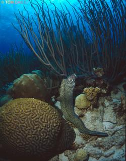 Moray Eel. Bonaire.©Tom Dailey