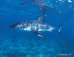 Great white shark3