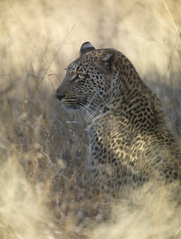 leopard_©Tom Dailey