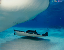 Sting ray. Grand Cayman. ©Tom Dailey