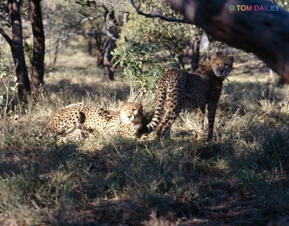 Cheetahs resting