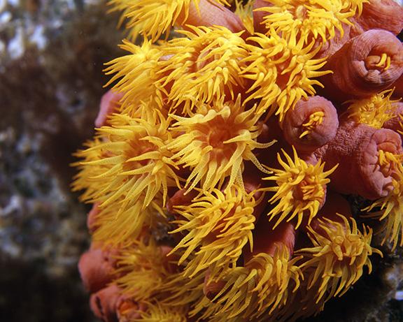 Actiniidae anemone