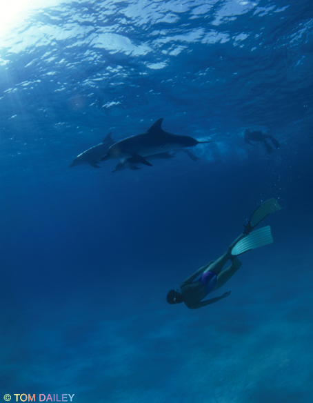Swimming with Dolphins. ©Tom Dailey