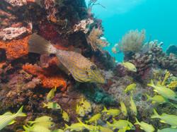 Scrolled Filefish. ©Tom Dailey