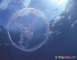 Jellyfish. Key Largo.