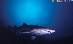Ragged Tooth Shark. South Africa