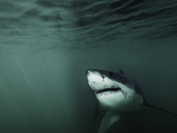 Great White Shark1©Tom Dailey