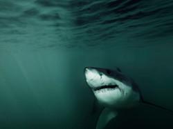 Great White Shark1©Tom Dailey