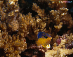 Damsel fish. Costa Rica.